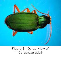 Adult Carabidae