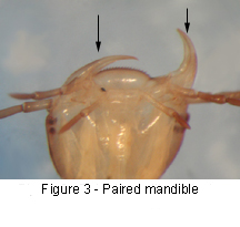 Paired Mandible