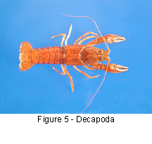 Decapoda