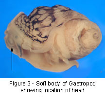 Gastropoda body