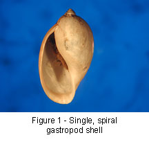 Spiral shell of Gastropoda