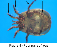 Four pairs of legs