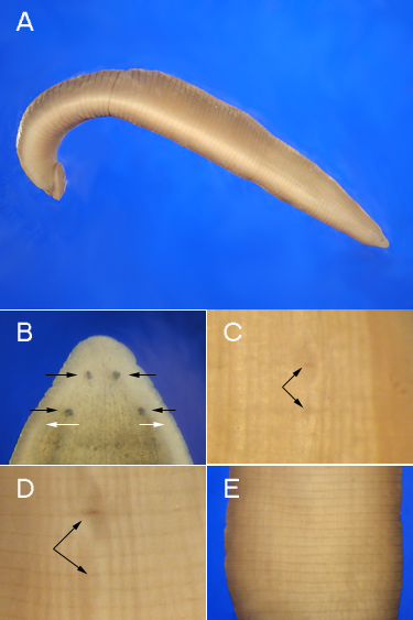 class clitellata Phylum annelida class clitellata order tubificida families phreodrilidae and  naididae common names: freshwater worms, sludge worms, microdriles.