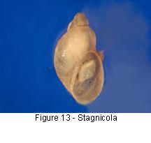 Stagnicola